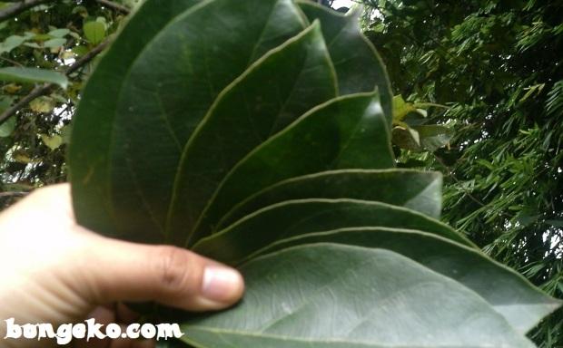 daun cincau hijau