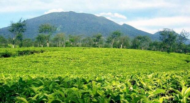 kebun teh Rancabali