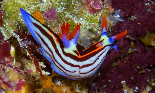 siput laut (nudibranch) di bawah laut perairan Pulau Atauro, Timor Leste.